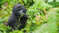 8 DAYS UGANDA ADVENTURE GORILLA SAFARI