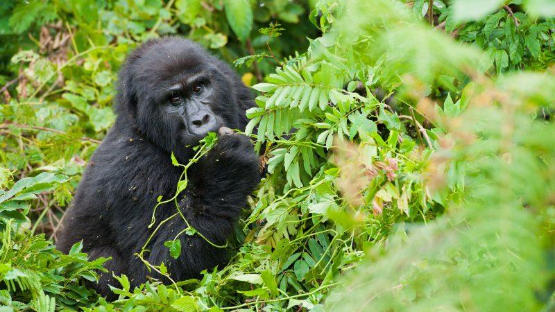 8 Day Uganda Great Gorilla Safari