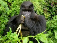 5 DAY GREAT ADVENTURE GORILLA SAFARI TO RWANDA