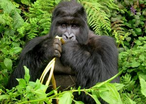 5 DAY GREAT ADVENTURE GORILLA SAFARI TO RWANDA