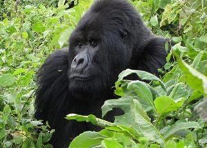 6 DAY UGANDA AND RWANDA GORILLA SAFARI