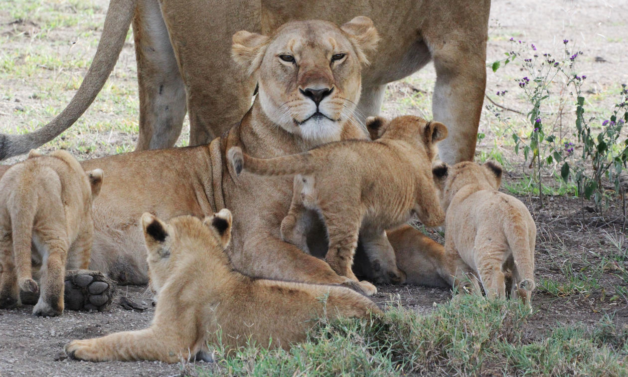 8 DAY SERENGETI ADVENTURE BIG CATS SAFARI