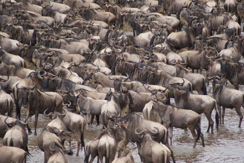 7-DAY-NORTHERN-SERENGETI-WILDEBEEST-MIGRATION-SAFARI.jpg