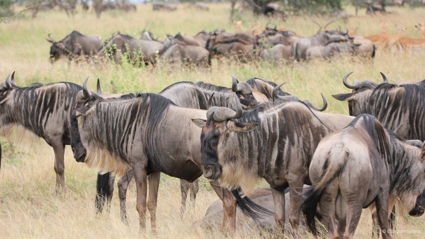 7 DAY SERENGETI WILDEBEEST MIGRATION TRACKING SAFARI