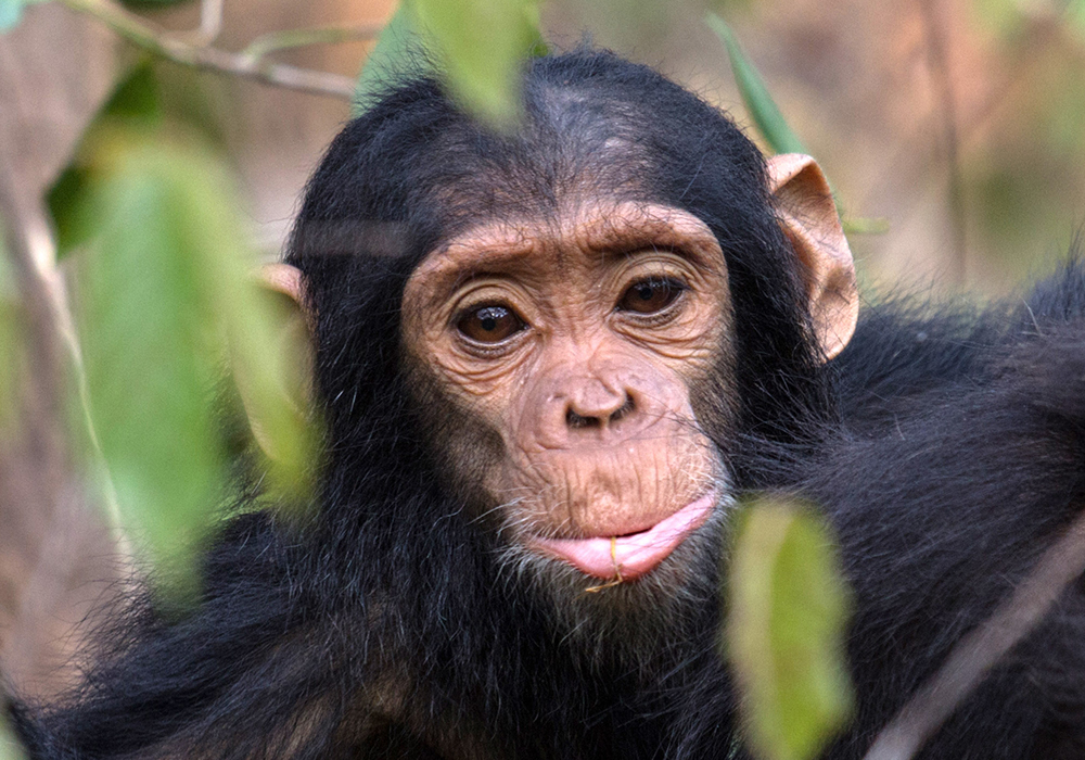5 Day Chimpanzee Trekking Safari to Gombe Stream